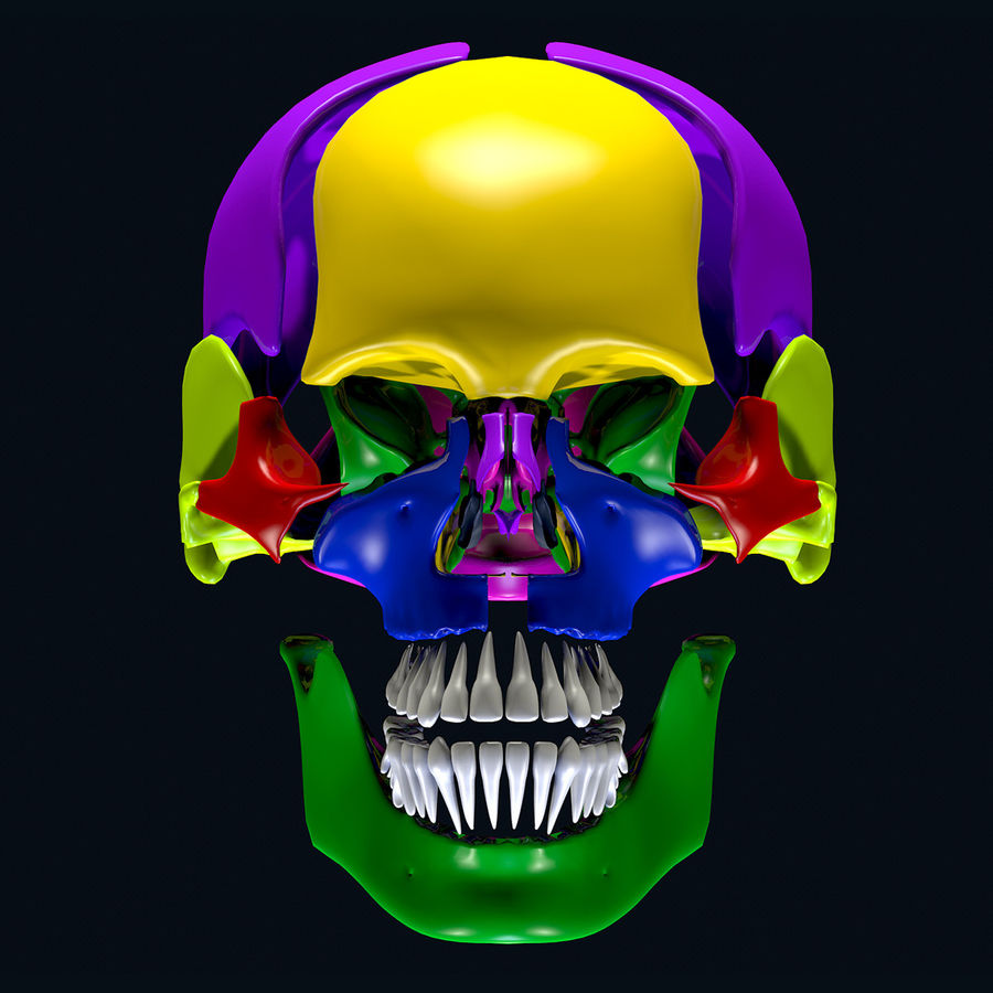 Anatomy Skull Color Parts royalty-free 3d model - Preview no. 7