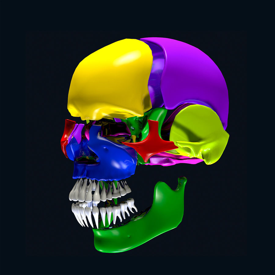 Anatomy Skull Color Parts royalty-free 3d model - Preview no. 10