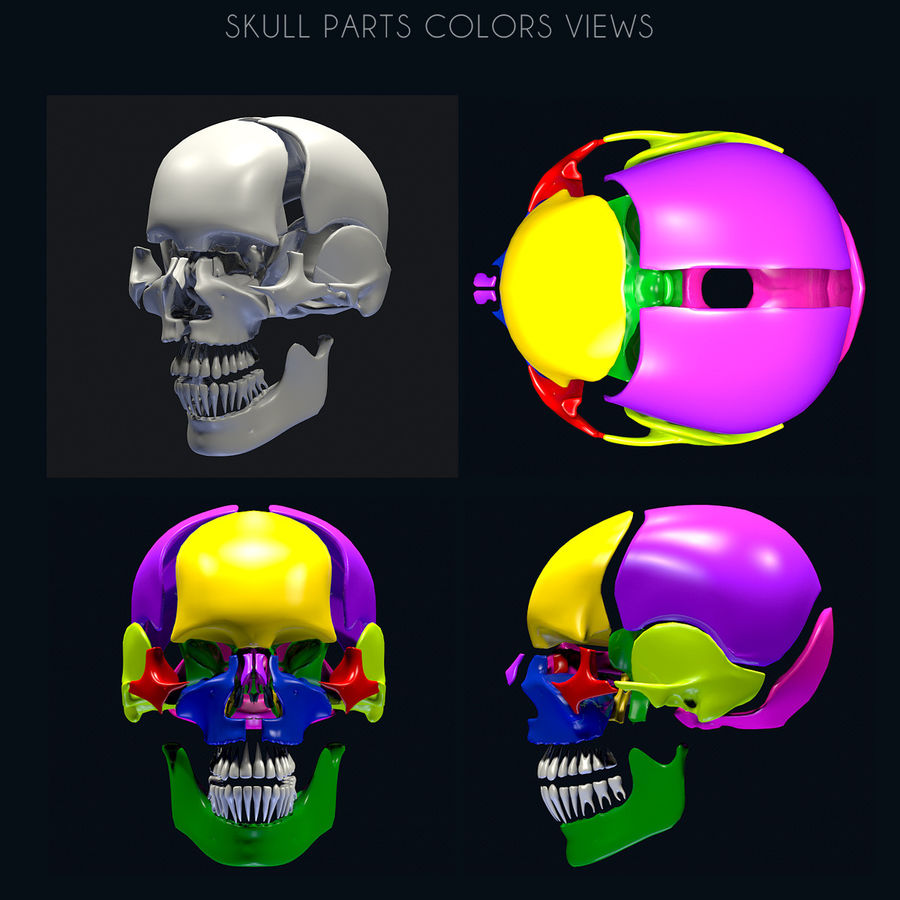 Anatomy Skull Color Parts royalty-free 3d model - Preview no. 5
