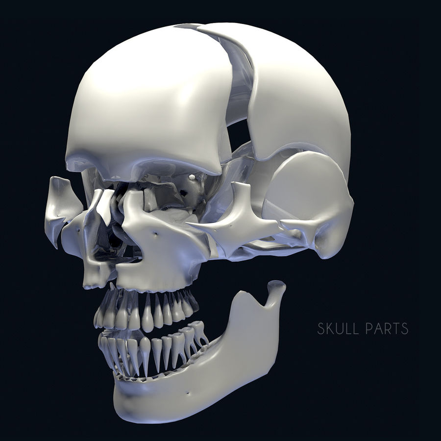 Anatomy Skull Color Parts royalty-free 3d model - Preview no. 2