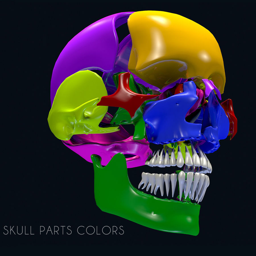 Anatomy Skull Color Parts royalty-free 3d model - Preview no. 3