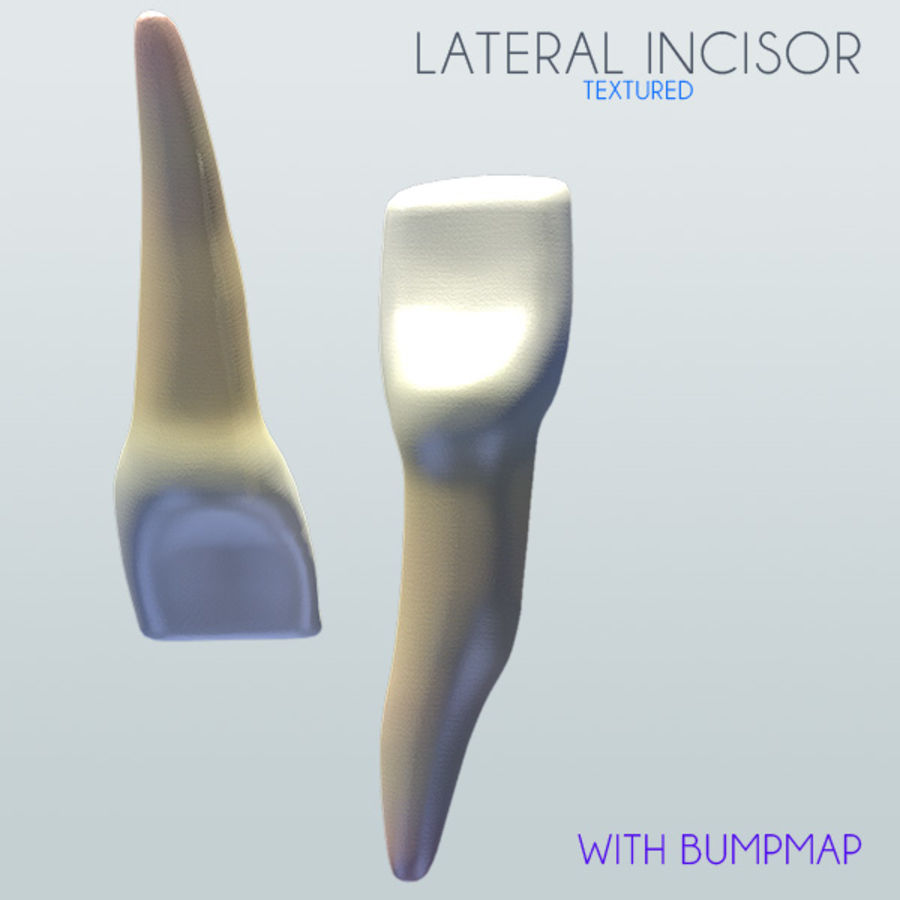 Human Lateral Incisor textured royalty-free 3d model - Preview no. 1