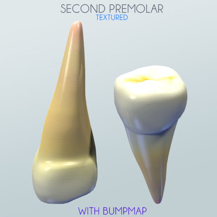 Human Second Premolar textured royalty-free 3d model - Preview no. 1