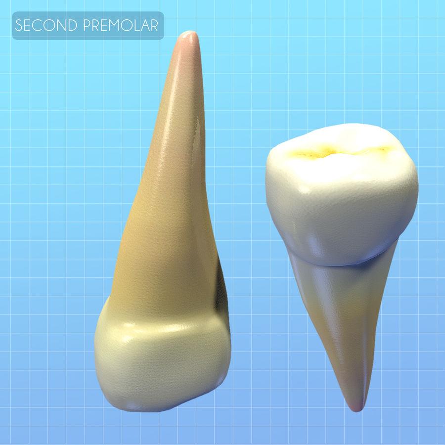 Human Second Premolar textured royalty-free 3d model - Preview no. 3