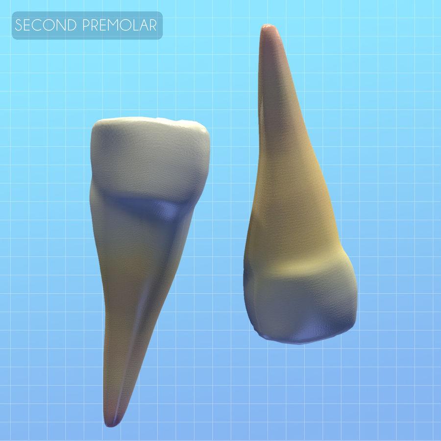 Human Second Premolar textured royalty-free 3d model - Preview no. 2