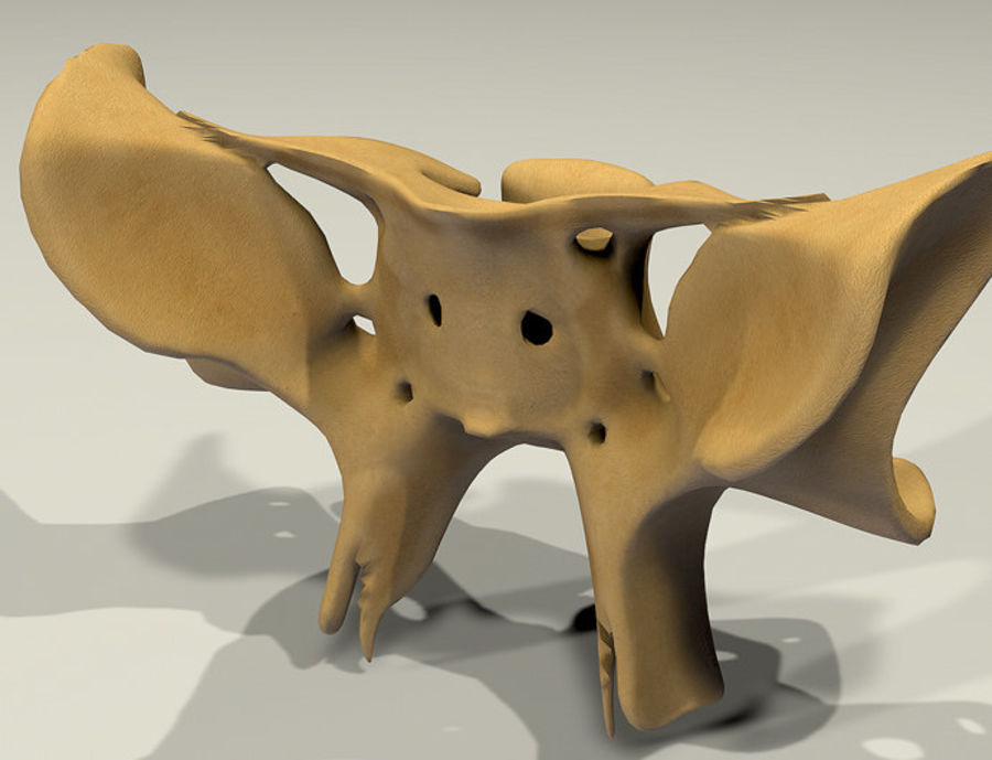Anatomy Sphenoid Bone royalty-free 3d model - Preview no. 11