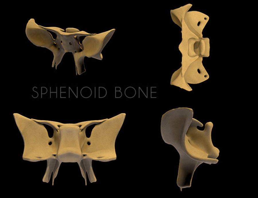 Anatomy Sphenoid Bone royalty-free 3d model - Preview no. 8