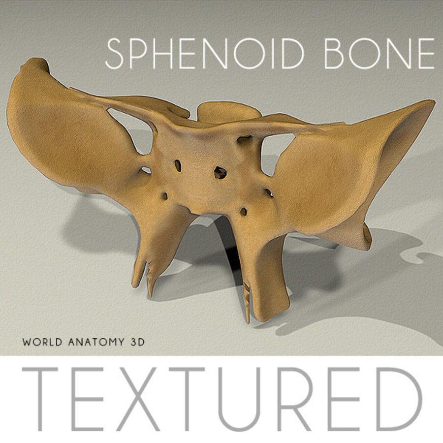 Anatomy Sphenoid Bone royalty-free 3d model - Preview no. 1