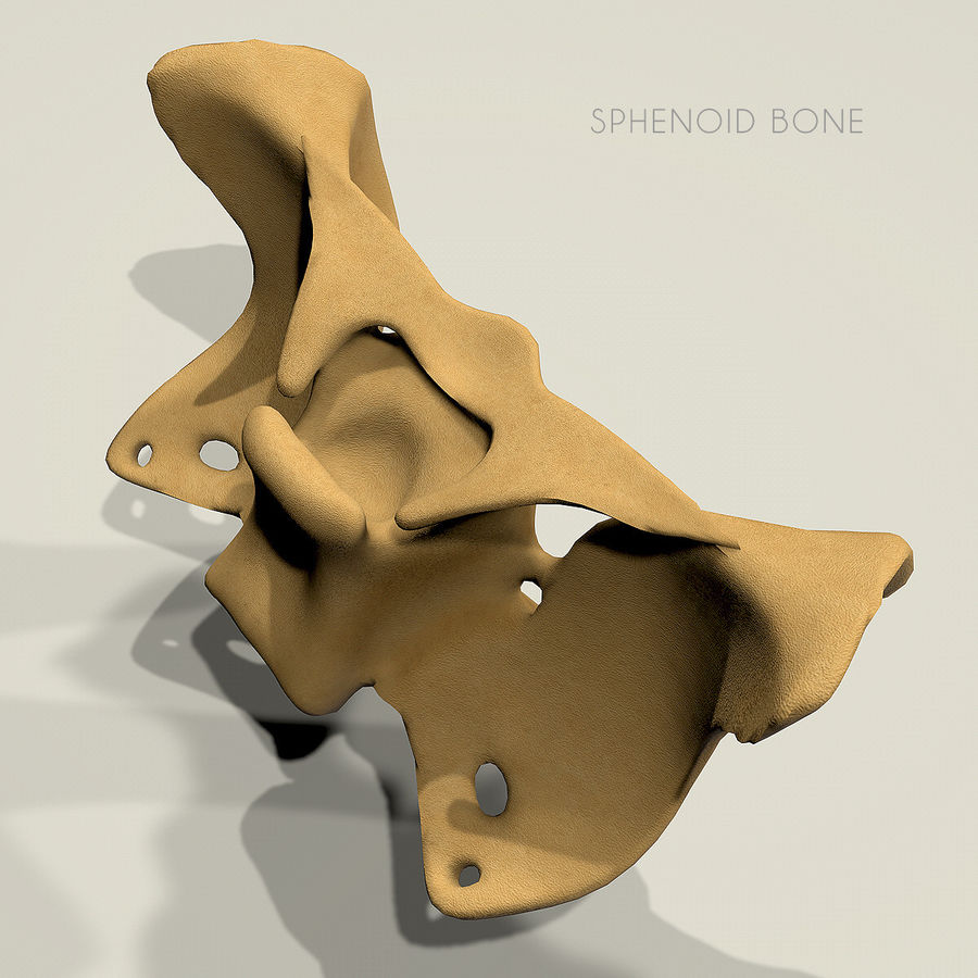 Anatomy Sphenoid Bone royalty-free 3d model - Preview no. 4