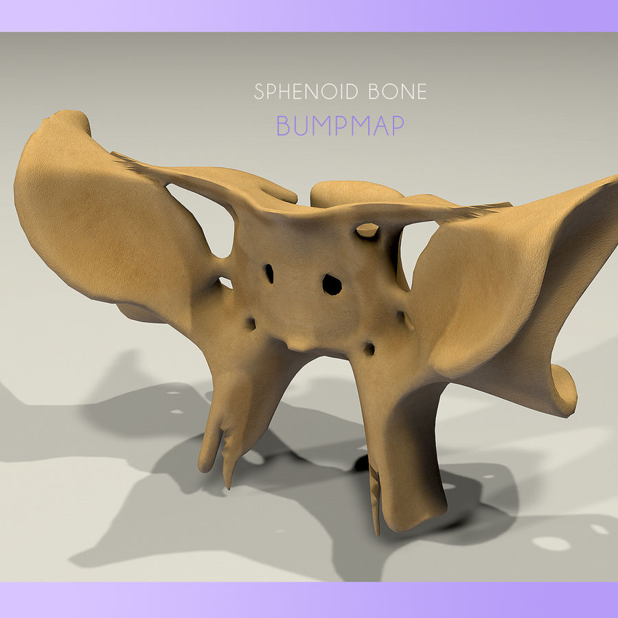 Anatomy Sphenoid Bone royalty-free 3d model - Preview no. 3
