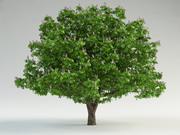 horse-chestnut Aesculus hippocastanum 3d model