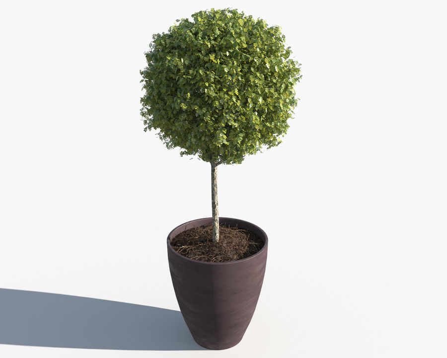 Outdoor Plants: Boxwood Trees royalty-free 3d model - Preview no. 2