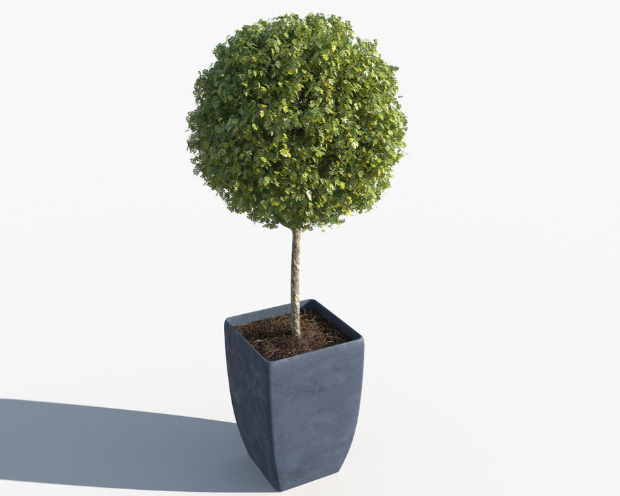 Outdoor Plants: Boxwood Trees royalty-free 3d model - Preview no. 4