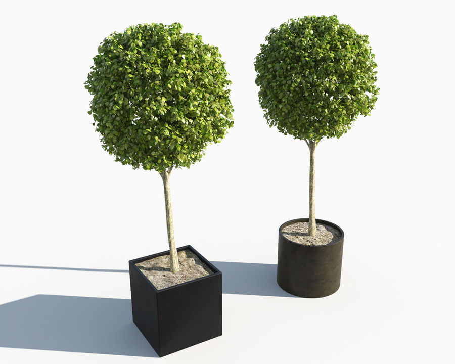 Outdoor Plants 2: Boxwood Trees royalty-free 3d model - Preview no. 2
