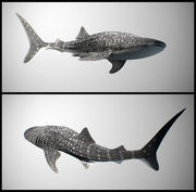 Requin baleine 3d model