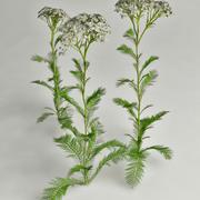 milenrama Achillea millefolium modelo 3d