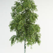 birch tree 2 betula pendula 3d model