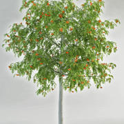 rowan sorbus mountain ash 3d model