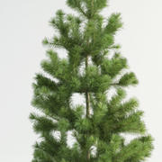 Scots pine pinus sylvestris(1) 3d model