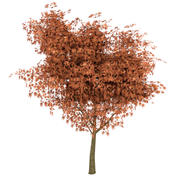 Maple Tree Autumn Low Poly 3d model