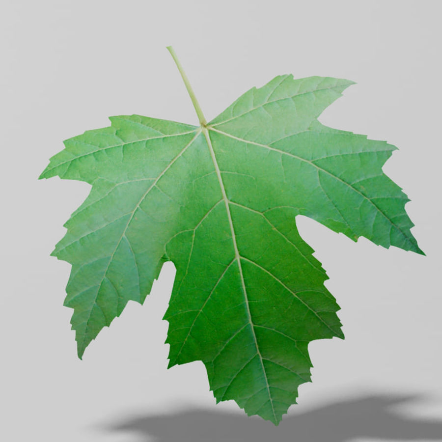 Sycamore maple leaf (Acer pseudoplatanus) royalty-free 3d model - Preview no. 3