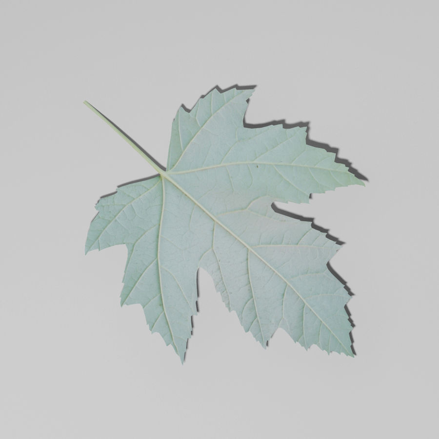 Sycamore maple leaf (Acer pseudoplatanus) royalty-free 3d model - Preview no. 4
