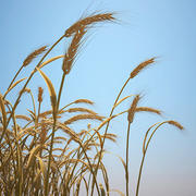 Emmer Wheat Field 3d model