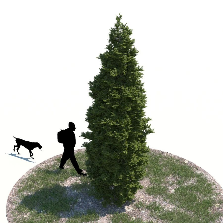 Thuja Tree 05 royalty-free 3d model - Preview no. 3