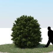Thuja Tree 10 3d model