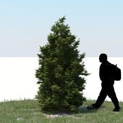 Thuja Tree 08 3d model