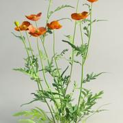 Field Poppy Papaver dubium 3d model