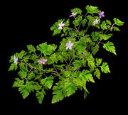 Herb Robert Geranium robertianum 3d model