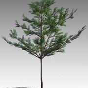 Tropical Almond ( Terminalia catappa ) 3d model