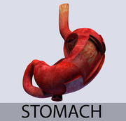 Stomach Leyers textured 3d model