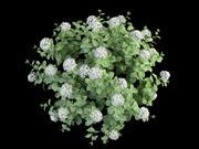 hortensia hydrangea 70 3d model