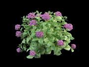 hortensia hydrangea 50 3d model