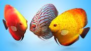 дискус рыба 3d model