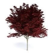 Red Japanese Maple 3d model