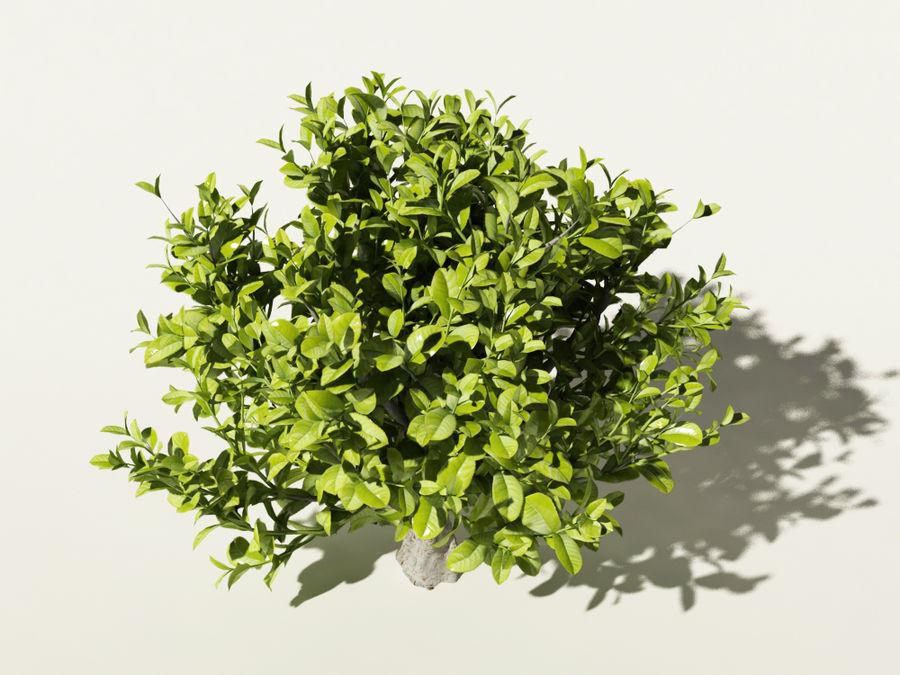 Camellia sinensis tea tree royalty-free 3d model - Preview no. 4