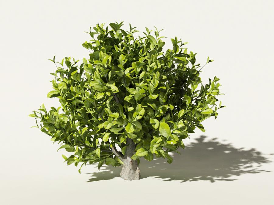 Camellia sinensis tea tree royalty-free 3d model - Preview no. 3