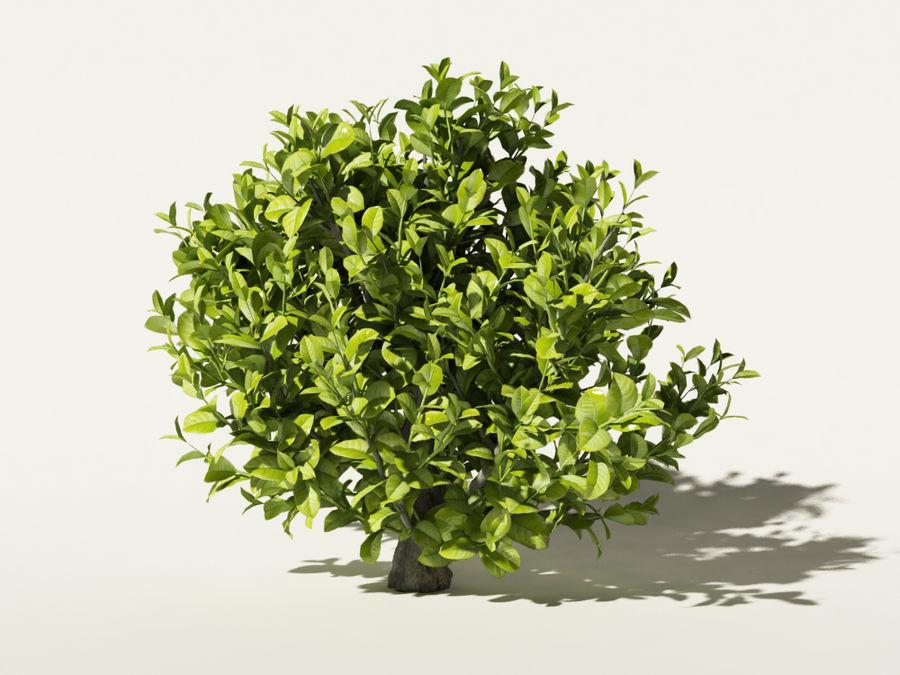 Camellia sinensis tea tree royalty-free 3d model - Preview no. 2