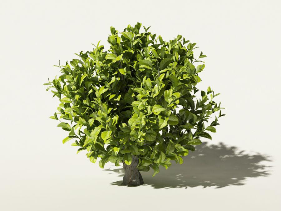 Camellia sinensis tea tree royalty-free 3d model - Preview no. 1