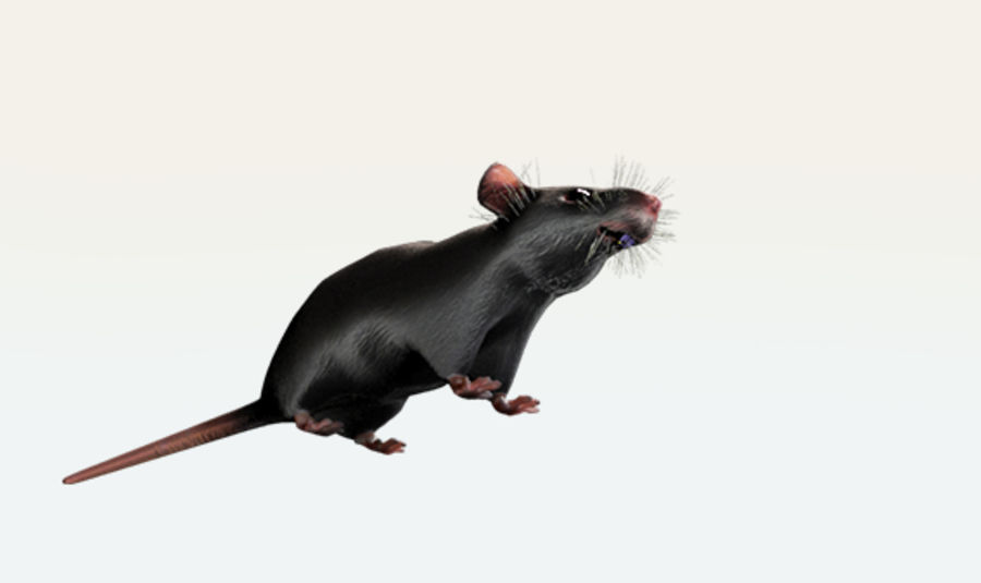 Rat royalty-free 3d model - Preview no. 6