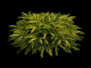 juniperus pfitzeriana aurea Wacholder 3d model