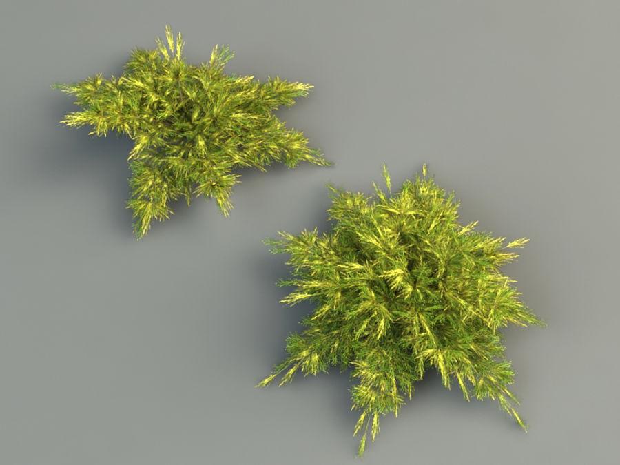juniperus pfitzeriana aurea juniper royalty-free 3d model - Preview no. 3