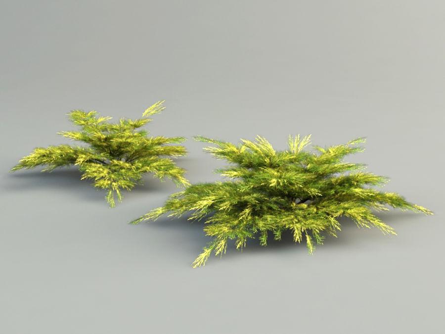 juniperus pfitzeriana aurea juniper royalty-free 3d model - Preview no. 4
