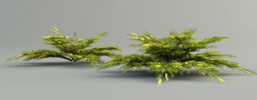 juniperus pfitzeriana aurea juniper royalty-free 3d model - Preview no. 5
