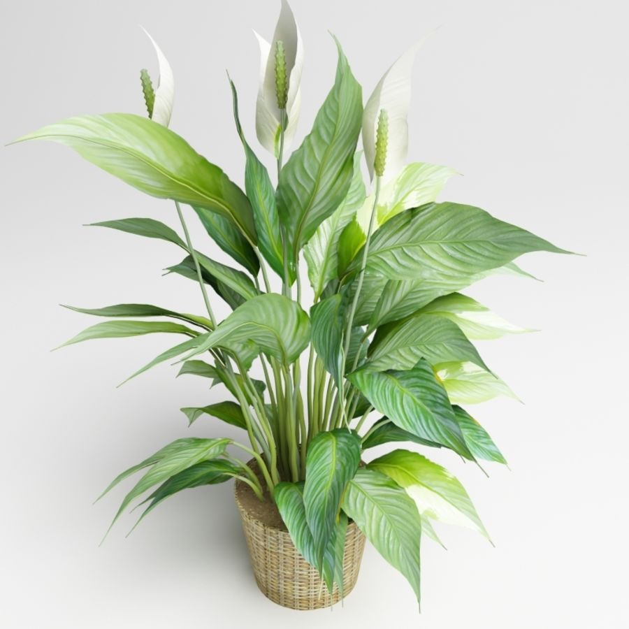 Spathiphyllum, Spath, peace lilies royalty-free 3d model - Preview no. 4