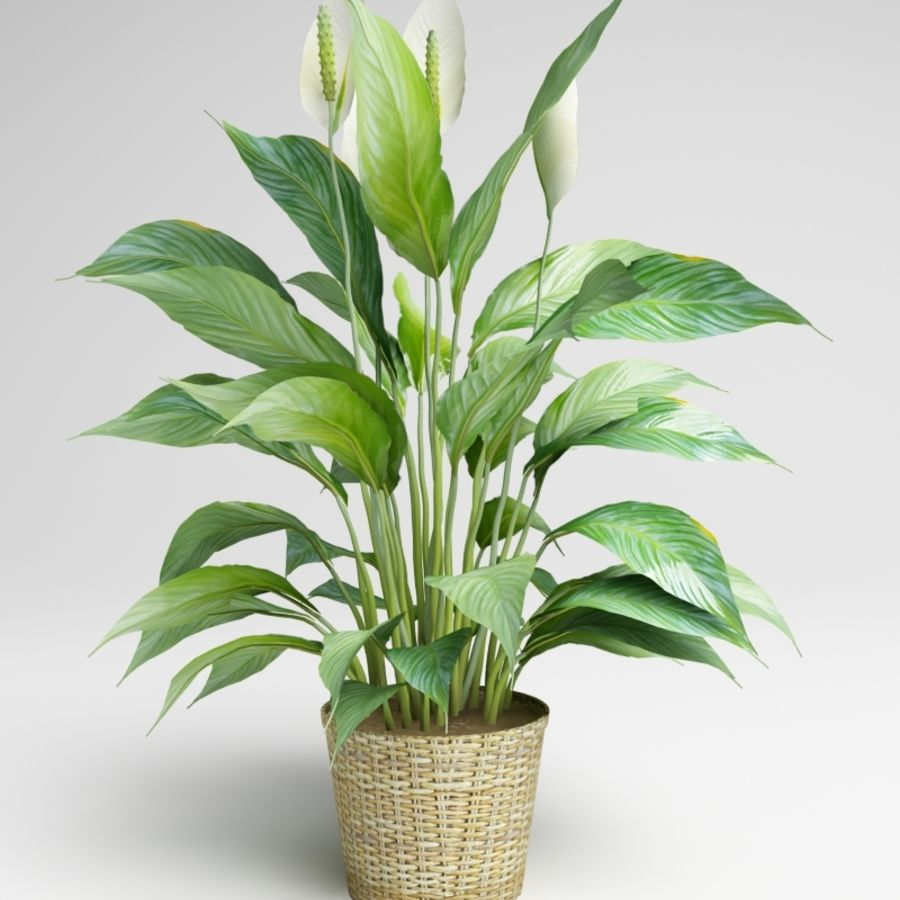 Spathiphyllum, Spath, peace lilies royalty-free 3d model - Preview no. 1