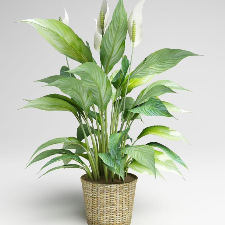 Spathiphyllum, Spath, peace lilies royalty-free 3d model - Preview no. 3